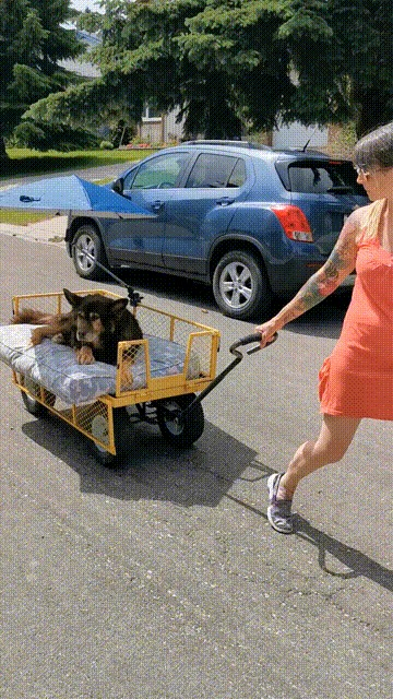 """""""У старичка Фрэнсиса тяжёлый артрит, поэтому я купила ему тележку для прогулок, чтобы он каждый день мог чувствовать ветер на его мордочке"""" Животные, Собака, Прогулка, Старость, Счастье, США, Женщина, Reddit, Гифка, Длиннопост"""