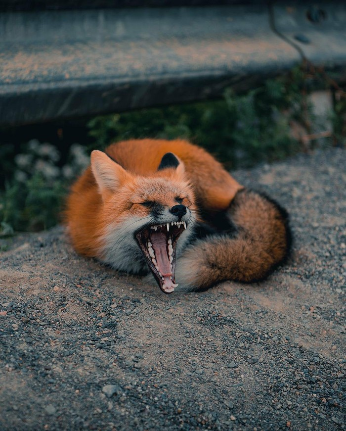 Уставшие лисички