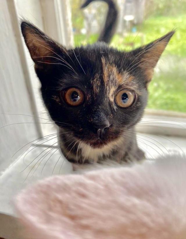 Пожалуйста, подарите дом приютской кошечке Черепашке. Санкт-Петербург и Ленинградская область