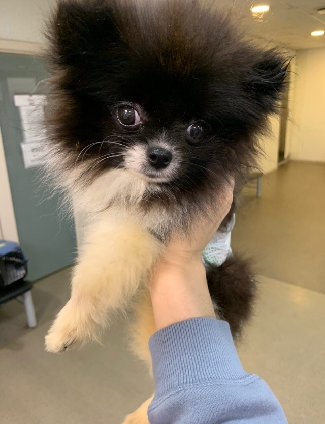 У нас новый отказник с усыпления - 6-месячный щенок шпица после нападения другой собаки. Отвезли на обследование