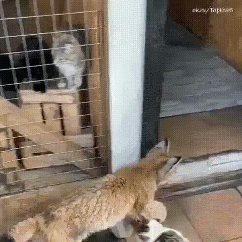 Рыся и кыся