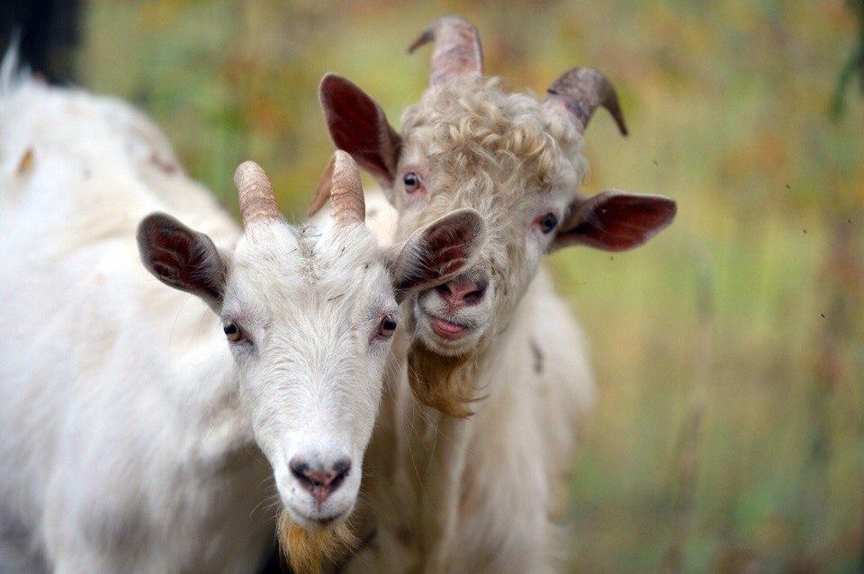 козлы и козы