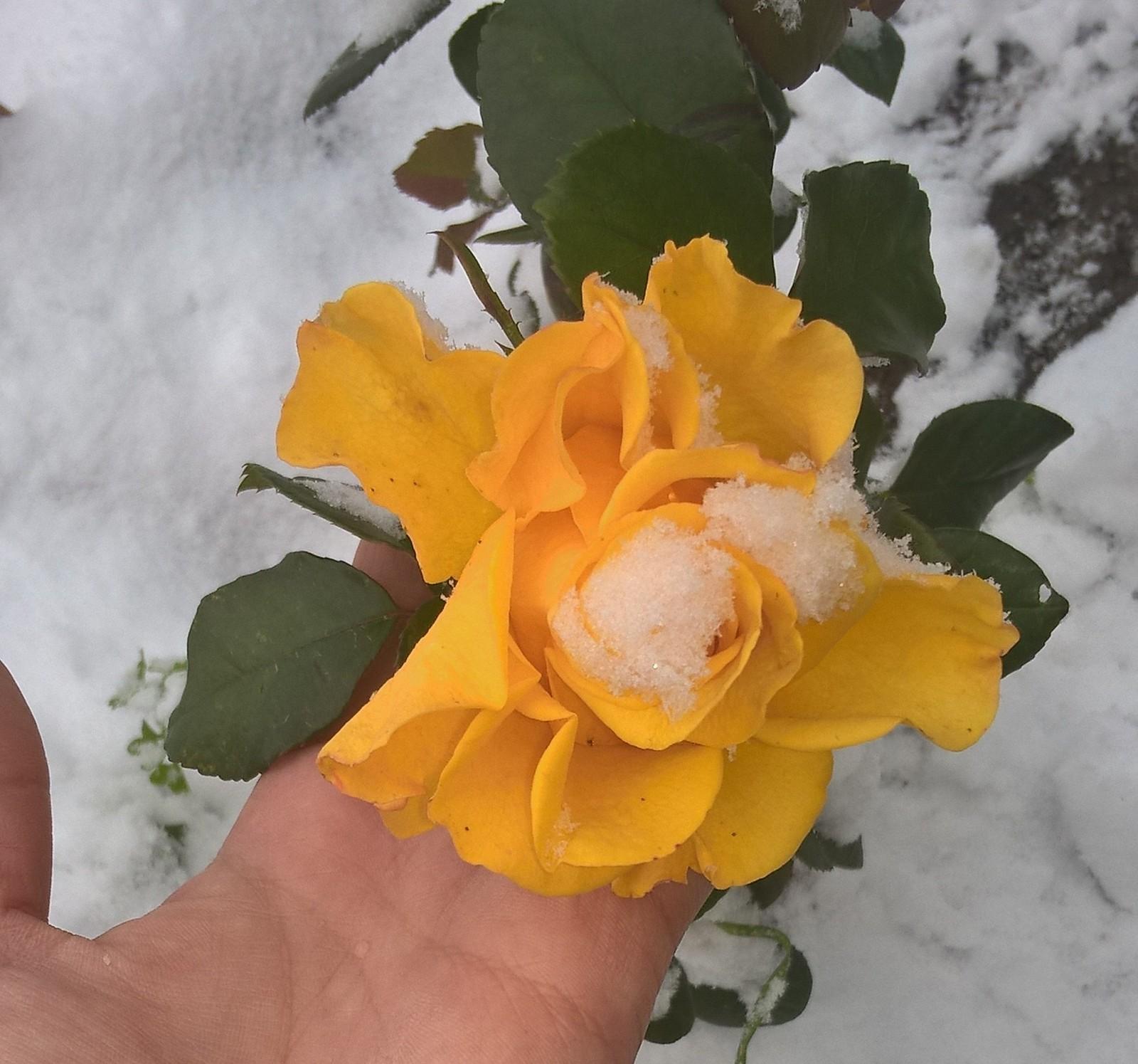 розы в снегу картинки