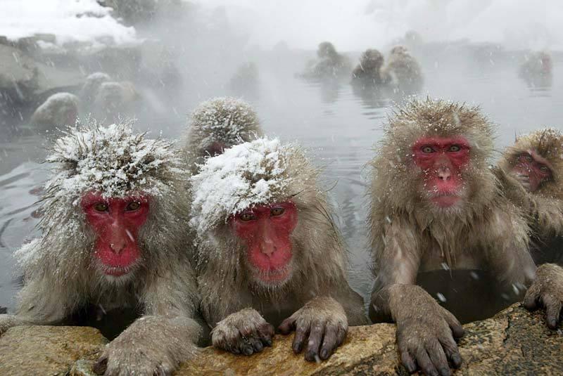 Япония мартышки в источниках
