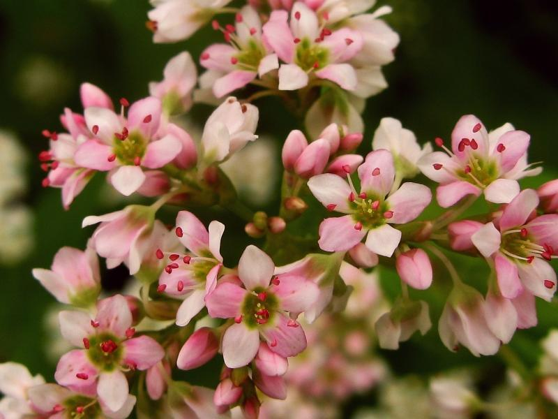 Цветы гречка