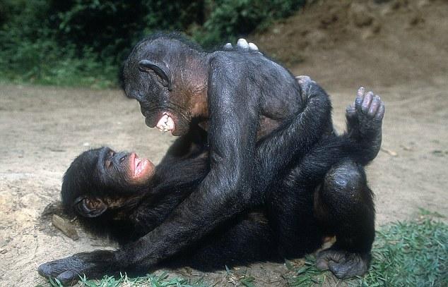 Шимпанзе занимаются оральным сексом