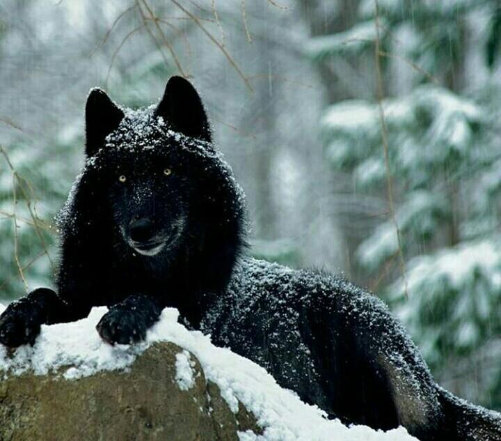 скачать черный волк торрент - фото 3