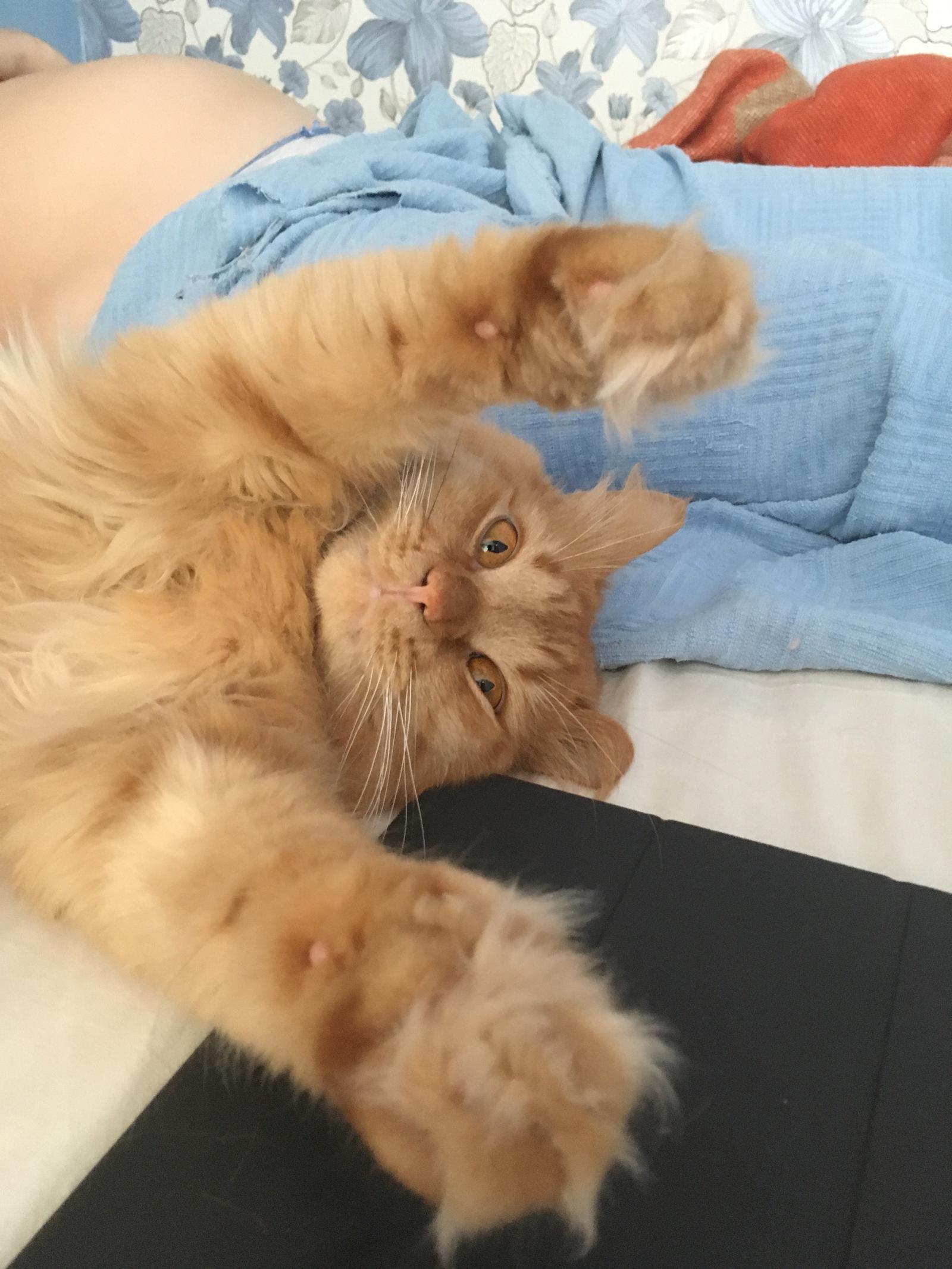 Оранжевый кот картинки