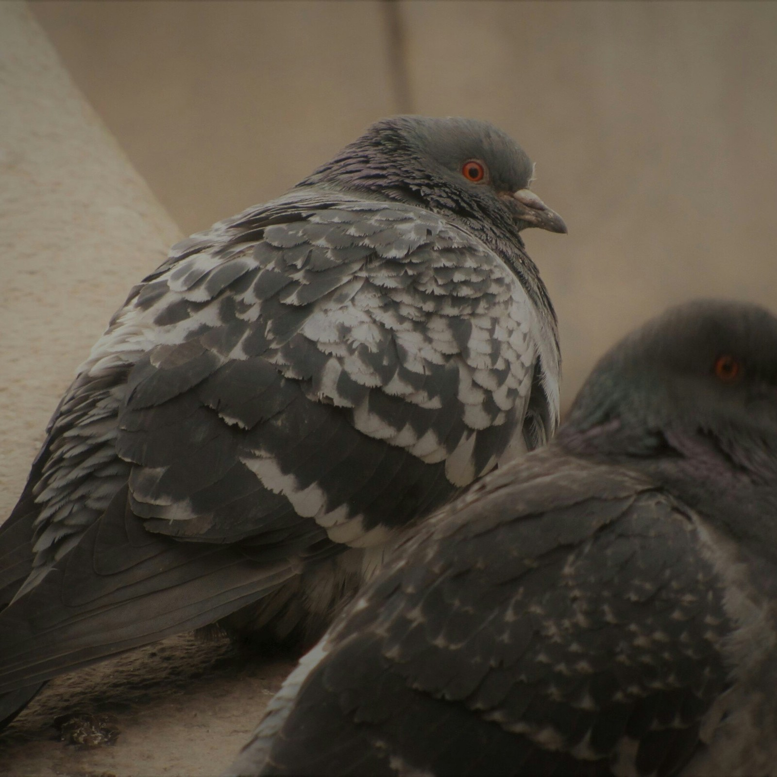 Петроградский голубь Евлампий
