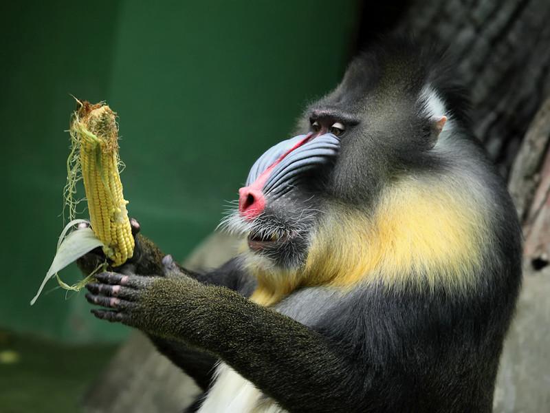 Бабуин трахает бабуина