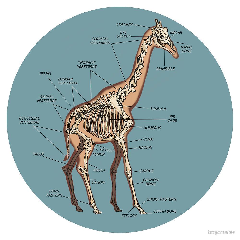 позвоночник жирафа