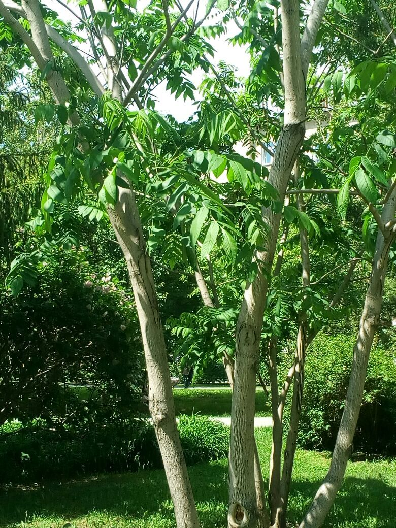 дерево похожее на орех