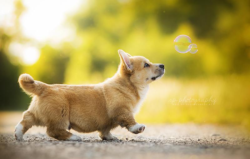 коржик собака фото