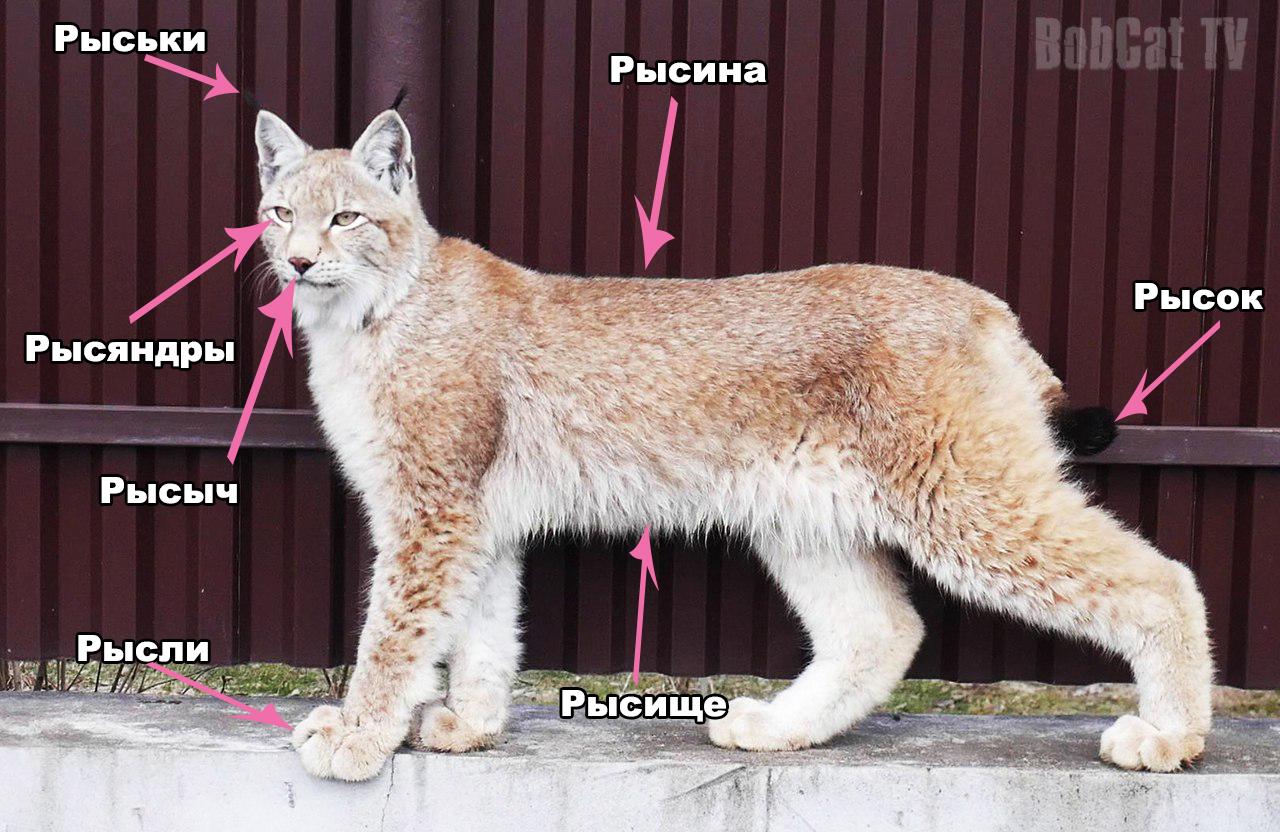 Рысь, найденную в подвале Семея, убили хищники в биоцентре | 832x1280