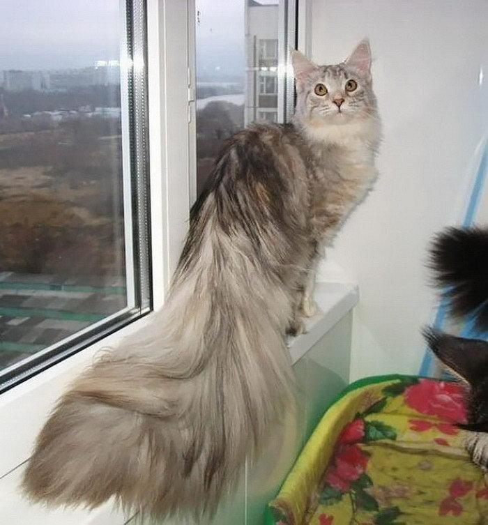 огромные кошки мейн кун