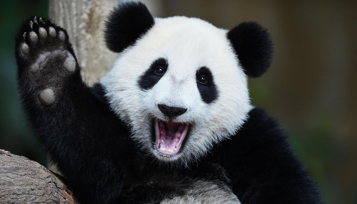 Картинки по запросу панда