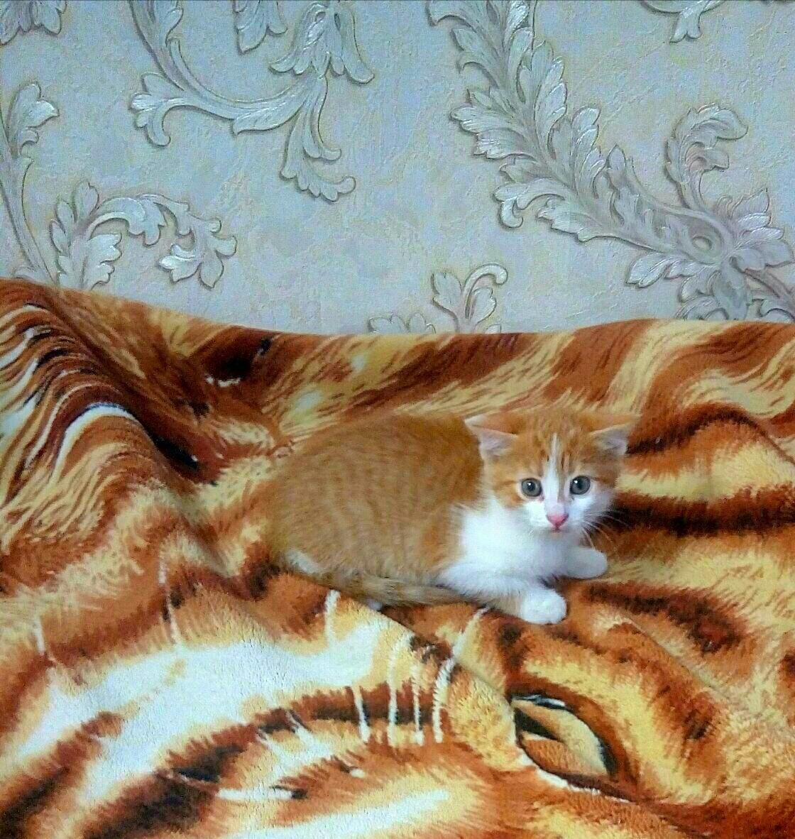 Кот даром калуга