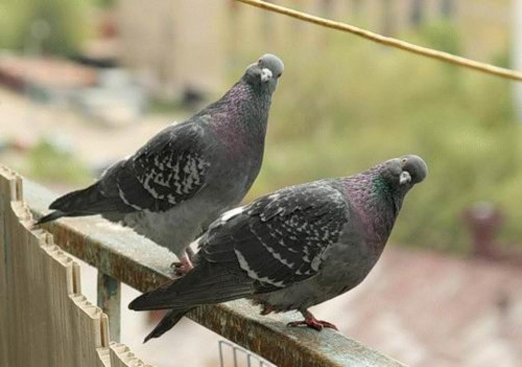 польза голубей для человека