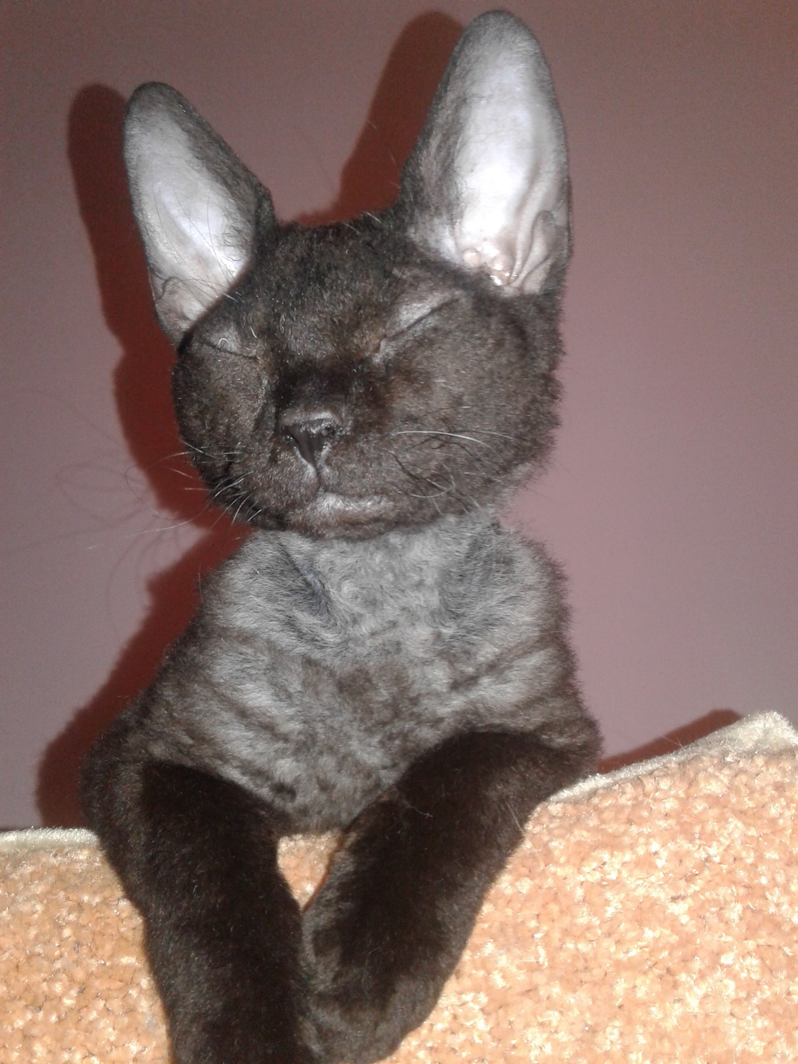 порода кошек браш