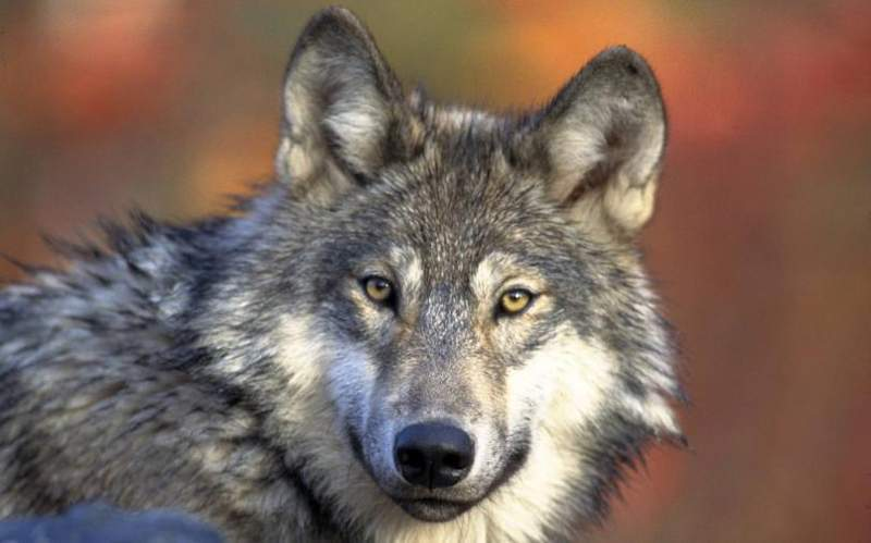 фото картинки волки