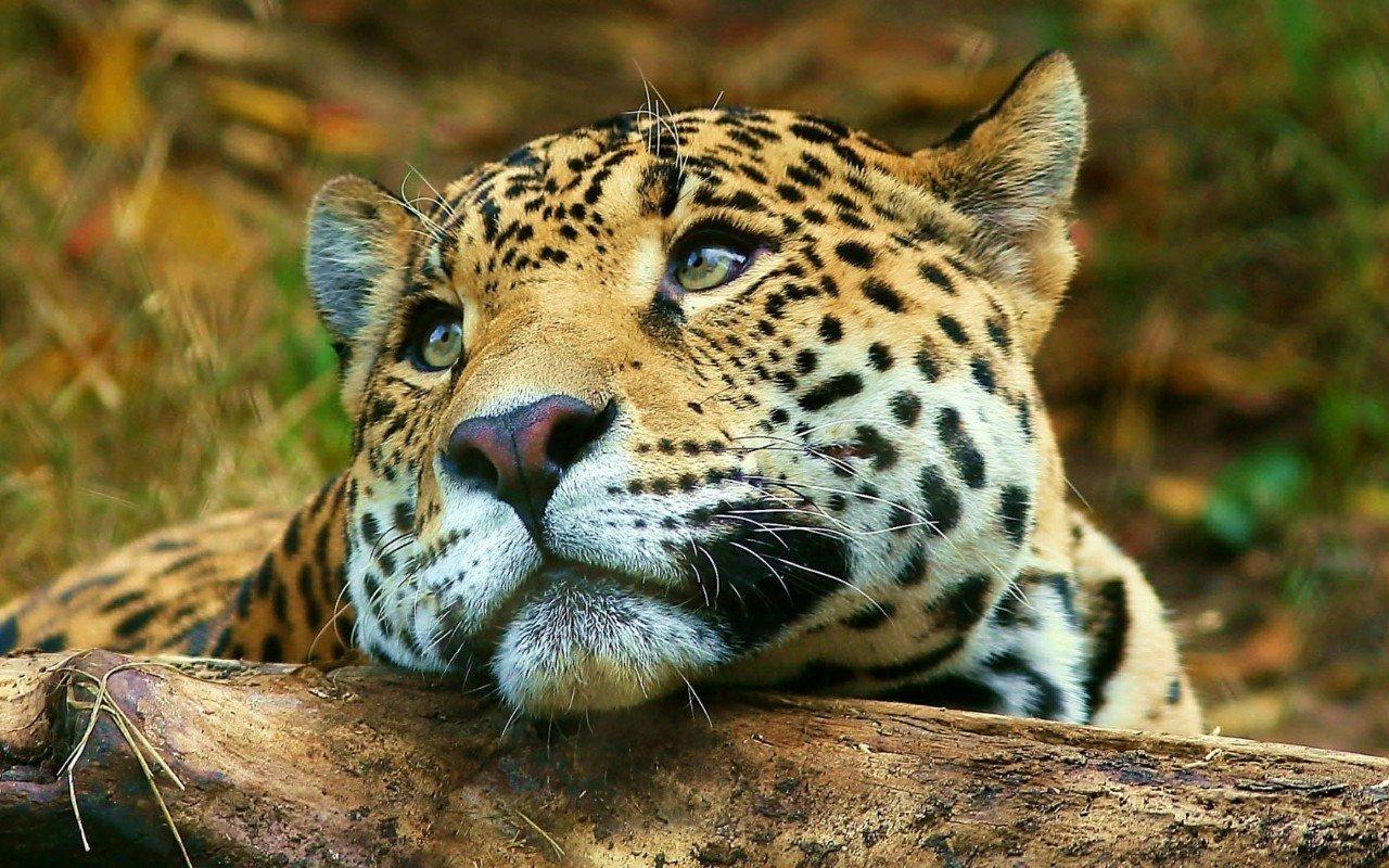 Обои детеныш леопарда, Милая мордашка. Животные foto 14