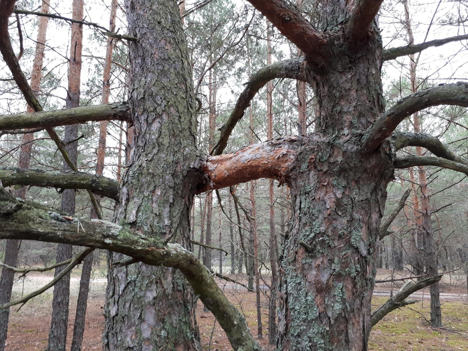 Секс дерево