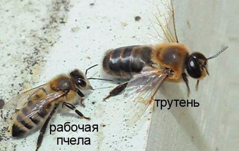На член посадить пчелу