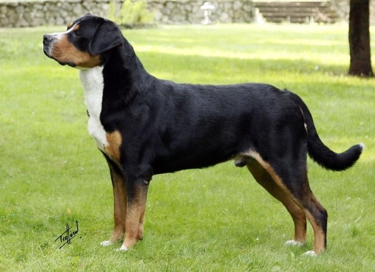 швейцарская порода собак