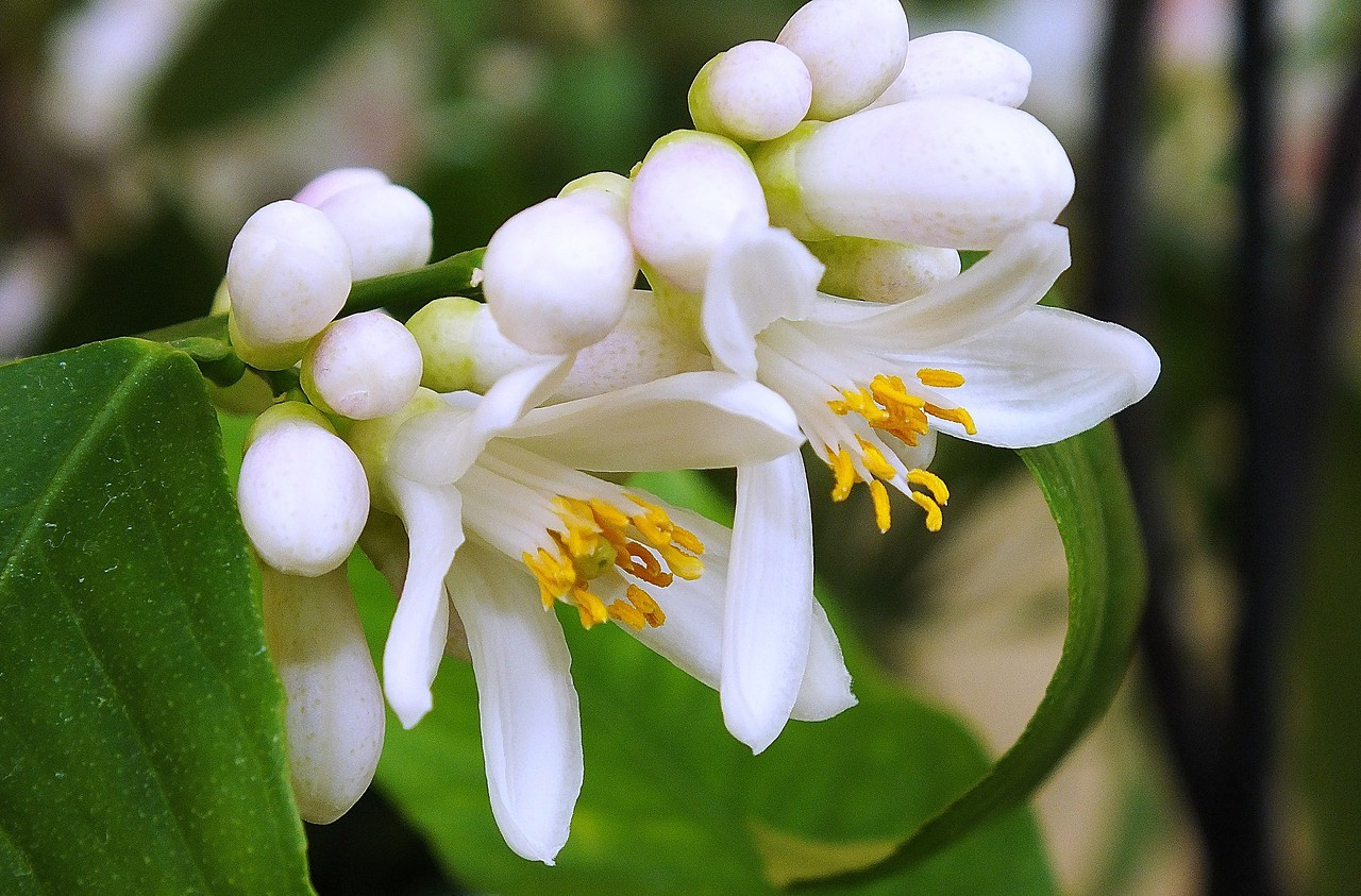 цветок лимонник домашний фото наши дни большинство