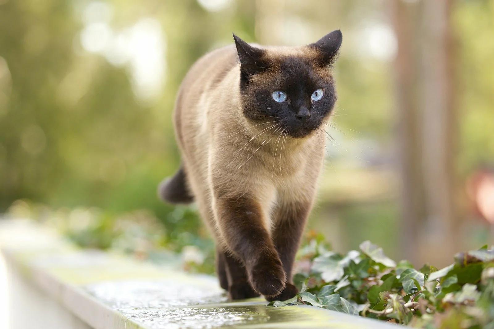 тайский кошка