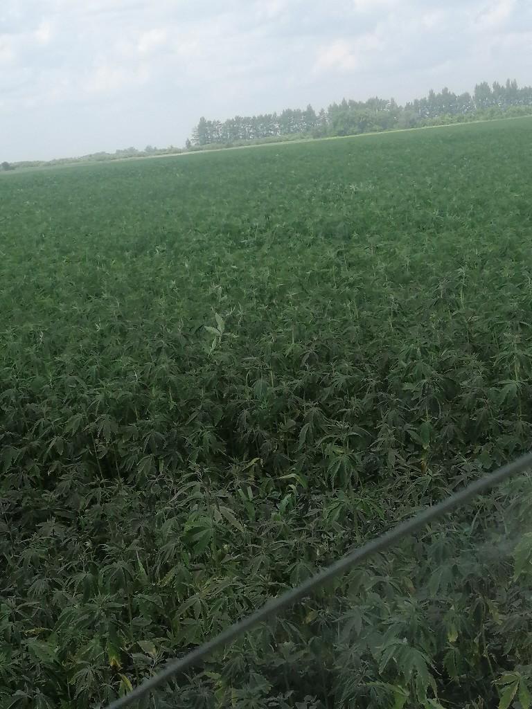 Поле чудес конопля сколько можно выращивать марихуаны в украине